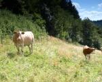 Pasoucí se krávy jsou symbolem lopenických luk